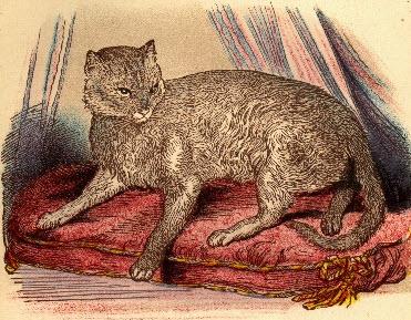 Pirmoji, taip vadinama, Abisinijos katė Zula